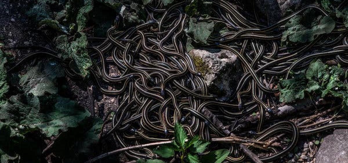 snakes in Manitoba, Canada